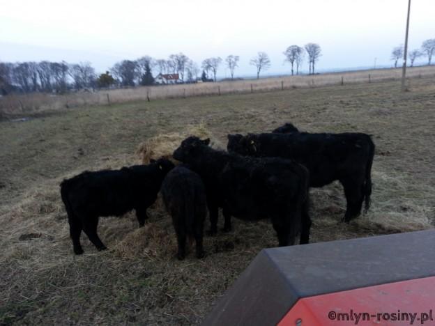 Welsh Black Rinder