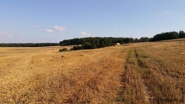 Weizenernte 2015 Großes Feld